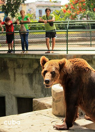 Brown bear at Zoo in 26 street in New Vedado © Cuba Absolutely, 2014
