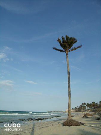 Palm in the sand at the beach © Cuba Absolutely, 2014