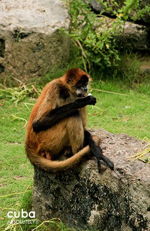 monkey in 26 Zoo in New Vedado© Cuba Absolutely, 2014