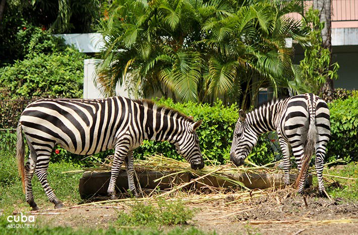 zebra at 26 Zoo in New Vedado© Cuba Absolutely, 2014