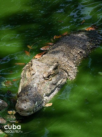 crocodile in the water at 26 Zoo in New Vedado© Cuba Absolutely, 2014