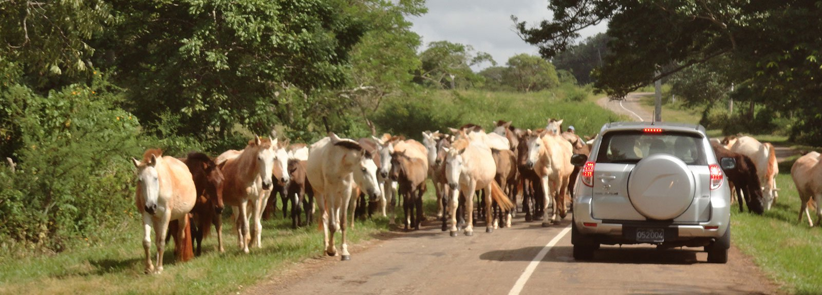 Road with a car surround by cows in Jaruco