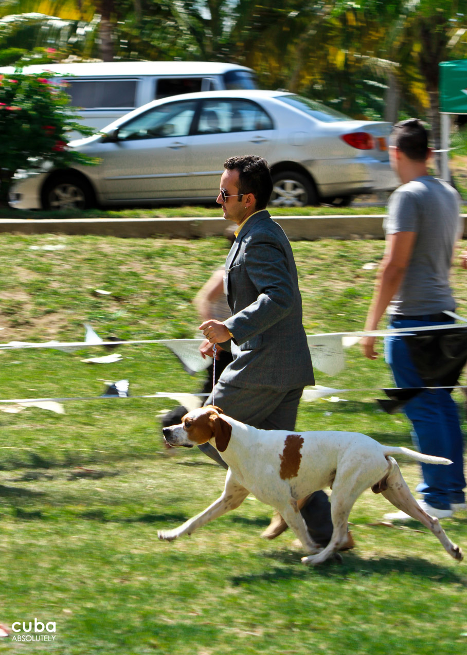 The successive rounds of the competition allow the judges and audiences to appreciate the beauty and bearing of the dogs, which do not compete against each other but against something as difficult as the standard of perfection for their particular breed set by the International Dog Federation. Havana, Cuba