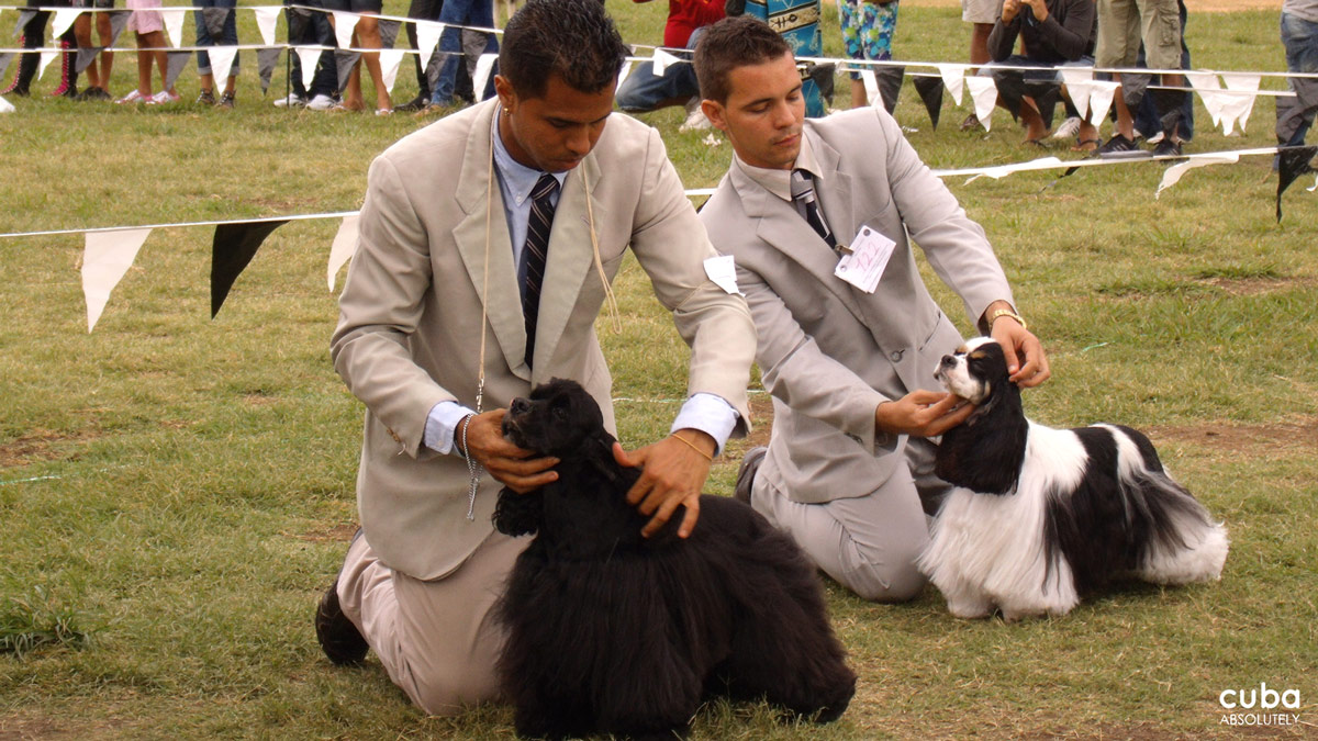 The judges' and handlers' attire probably fare worse than the dogs baking under the radiant Havana sun. Havana, Cuba