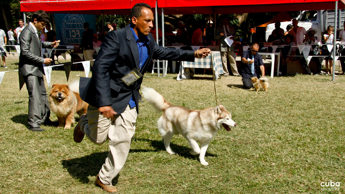 The successive rounds allow the judges, and audiences, to appreciate the beauty and bearing of the dogs, which do not compete against each other but against something as difficult as the standard of perfection for their particular breed set by the International Dog Federation. Havana, Cuba