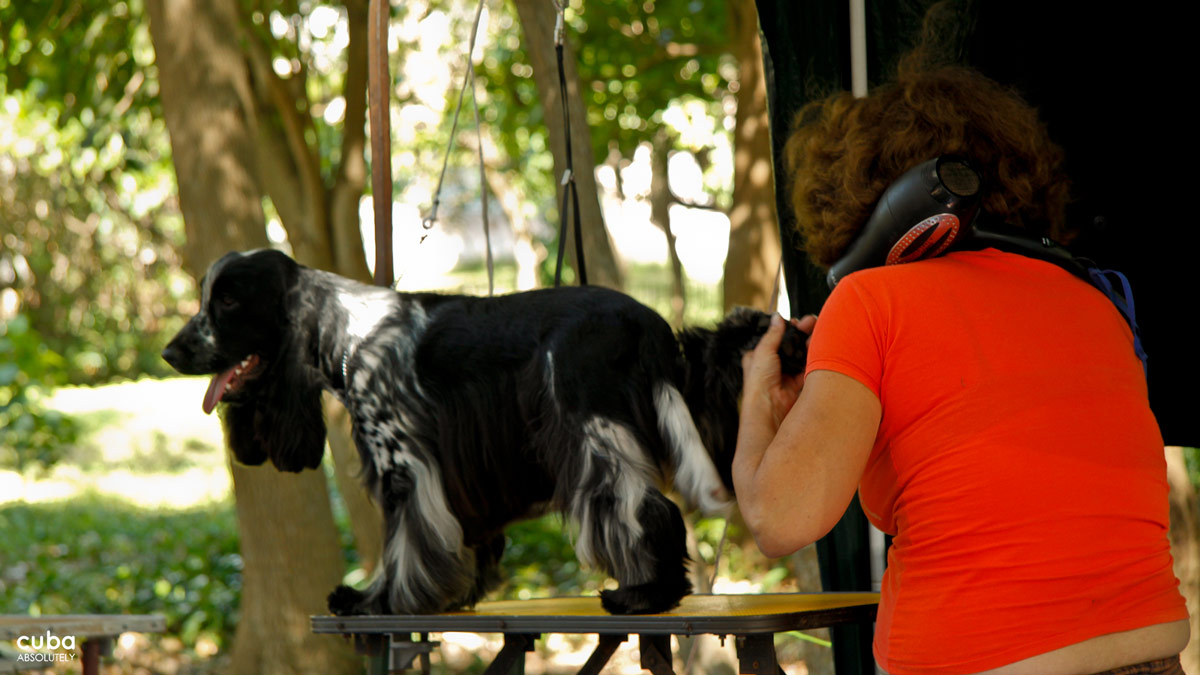 The Chow Chow, Dalmatian, Bichón Habanero, Siberian Husky and Rhodesian Ridgeback were all about before dawn talking with their hair stylists and getting over last minute nerves. Havana, Cuba