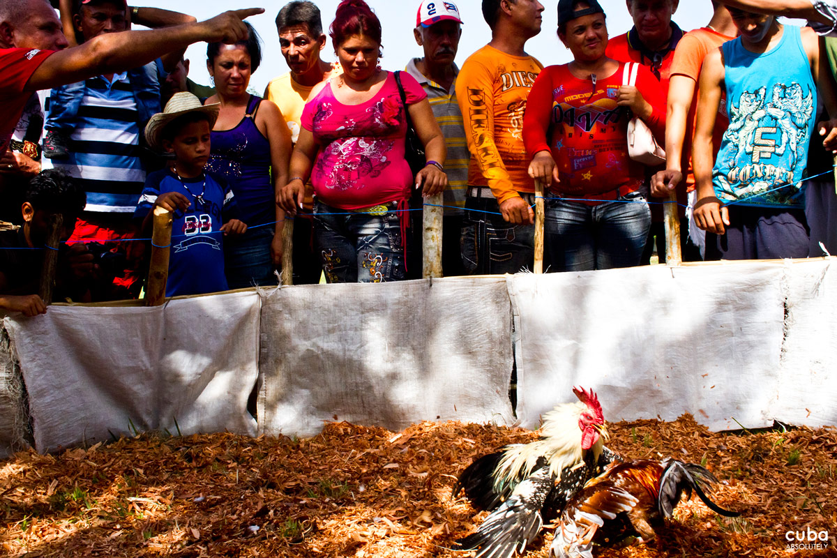 You may not like the cock-fighting but it undeniably has a place and a role in countryside culture and history of Cuba. Las Tunas, Cuba